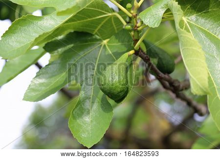 Fig On The Tree Fig With Large Green Leaf
