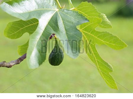 Fig On The Tree With Large Green Leaf In Spring