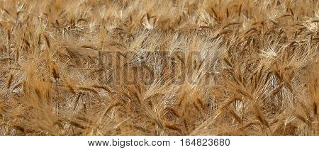Ears Of Wheat During Ripening In The Field Of Wheat In June