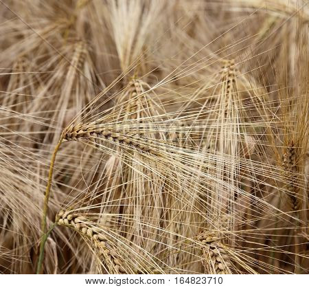 Backdrop Of Mature Ears Of Wheat During Ripening