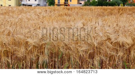 Wheat Field With Ripe Ears In Summer Near The Houses