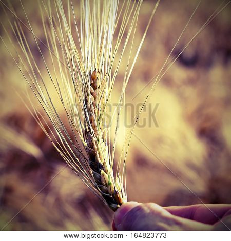 Hand Of Farmer Holding The Ear Of Wheat