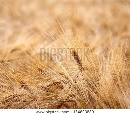 Backdrop Of Ears Of Wheat During Ripening In The Wheat Field In