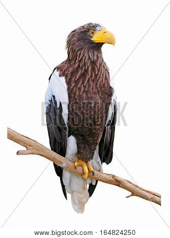 Steller's sea eagle (Haliaeetus pelagicus) on a branch isolate