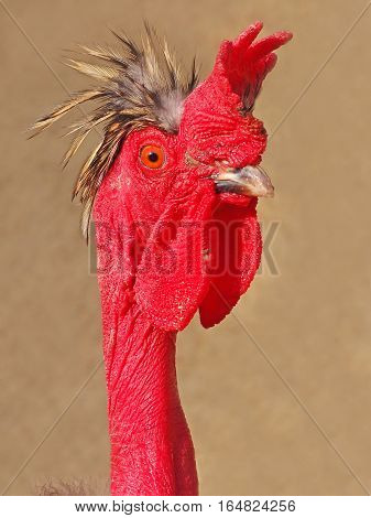 Portrait (profile) naked neck crested, red rooster