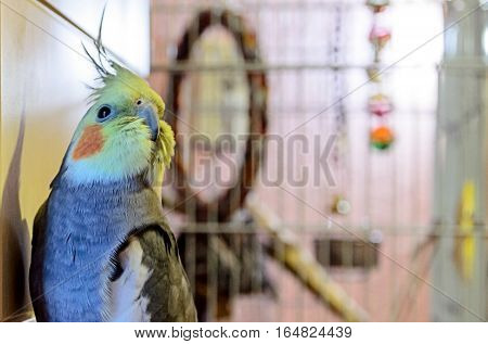 Grey Parrot looking at the camera after playing with her toys