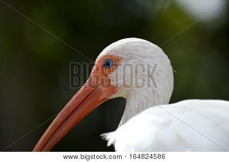 A White Ibis Latin name Eudocimus albus