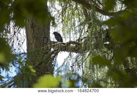Western Jackdaw black and grey silhouette sitting in a tree framed by lie sky and foliage/ tree branches