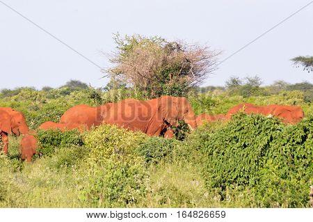Red Elephant Herd in the Scrubland of Tsavo East Park in Kenya