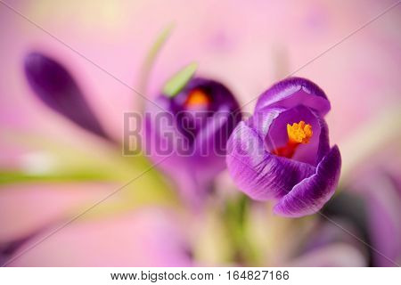 Purple crocus flower spring flower crocus as a background extreme focus