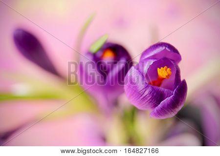 Purple crocus flower spring flower crocus as a background extreme focus