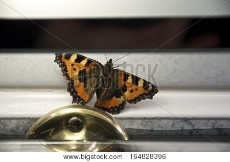 Small Tortoiseshell, orange butterfly resting wall under a mirror (Nymphalis urticae)