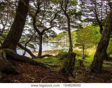 Forest scene with many trees and lake in background in Tierra del Fuego National Park