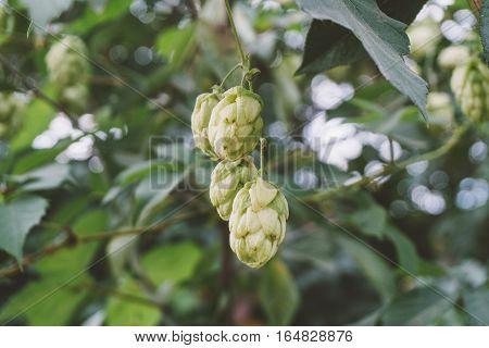 detail of hop cones in the hop field