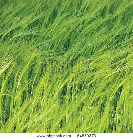 Fresh New Green Common Wild Barley Field Background Pattern, Hordeum vulgare L. Spikes, Organic Cereals Metaphor Concept