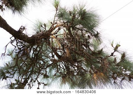 Japanese Gardens Pine Tree Detail, Buenos Aires, Argentina