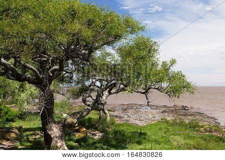 River Plate Shore and Tree Landscape, Colonia, Uruguay