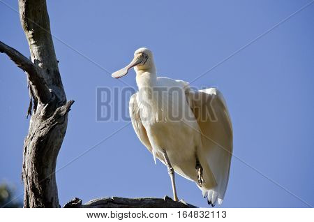 the yellow spoonbill is up in a tree