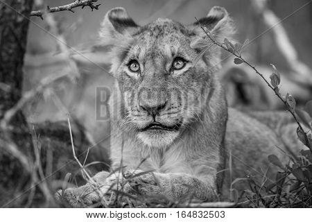 Lion Cub Looking Up In Black And White.