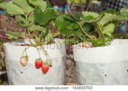 Close up of strawberry in the Strawberry field agricultural garden in Northern of Thailand.