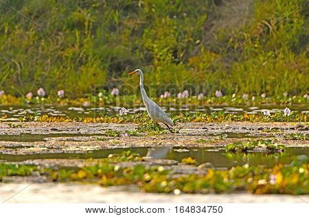 Intermediate Egret in Wetland Pond in Chitwan National Park in Nepal