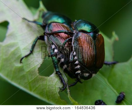 A pair of very familiar beetles, in a mating position.