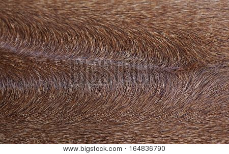 Brown rhodesian ridgeback texture dog in studio
