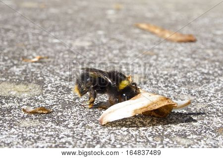 Bumblebee (Bombus terrestris) on concrete rock pushing a brown leaf.