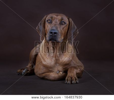 brown rhodesian ridgeback dog portrait in studio