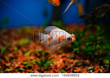 lonely fish in the aquarium white with gold color