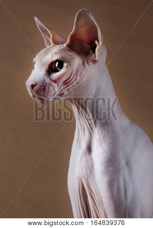 Sphynx Hairless Cat portrait in studio with brown background