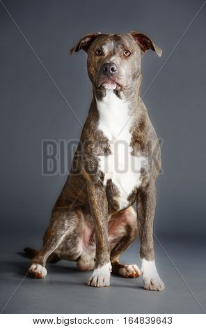 pitbull in the studio with grey background