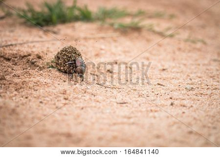 Dung Beetle Rolling A Ball Of Dung.
