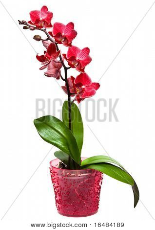 orchid in a pot isolated