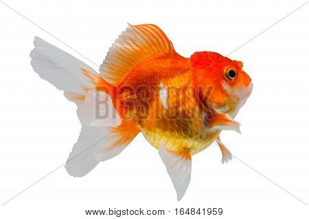goldfish isolated on white background. File contains a clipping path.