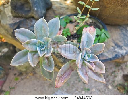 Leafy succulent houseplant echeveria laui close up, beautiful round desert plant