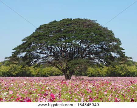Colorful cosmos flowers field and big tree
