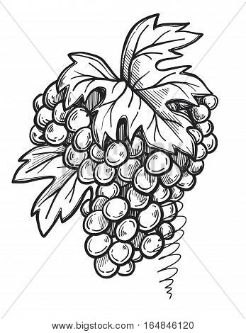 Grape bunch freehand pencil drawing on white background vector. Wine grape with leaf sketch in vintage style. Grape icon or logo retro design element. Hand drawn grape bunch. Isolated grape bunch illustration. Grape sign.