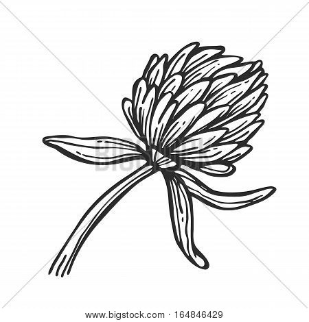 Clover freehand pencil drawing isolated on white background vector illustration. Floral monochrome clover sketch, herb and botany design element. Wild flower icon in vintage style. Hand drawn clover. Clover icon.