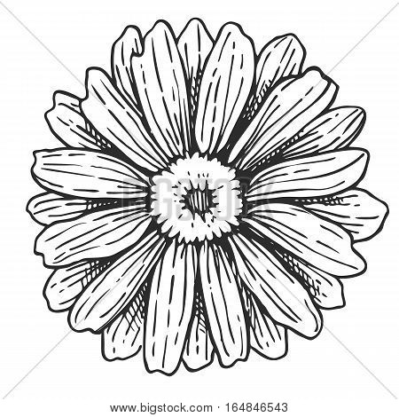 Chamomile freehand pencil drawing isolated on white background vector illustration. Floral monochrome chamomile sketch, herb and botany design element. Chamomile sign in vintage style. Hand drawn chamomile. Flower icon.