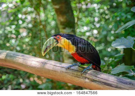The colorful green-billed toucan sitting on the wood in one of the worlds largest and most impressive waterfalls of Iguacu National Park in Foz de Iguacu at Parana State, Brazil