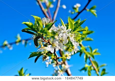 Plums Flowers On Branch
