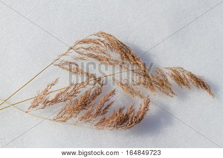 Dry Grass In The Snow