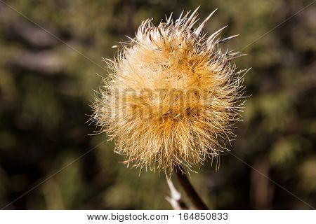 Large Dandelion Flower