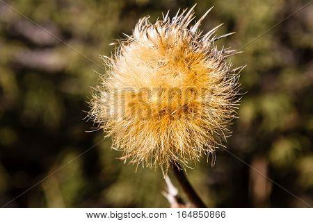 Large Dandelion Flower In The Sun