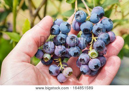 closeup of hand picking ripe organic blueberries
