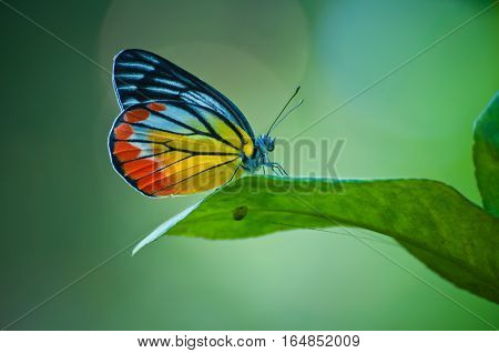 Painted jezabel butterfly, Delias hyparete metarete in nature