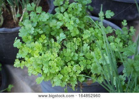 Coriander.Fresh leaves coriander plant in the pot