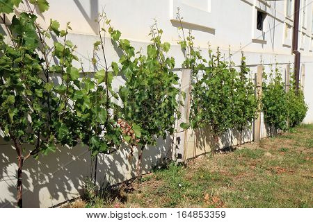 The plantation of vines at the Jesuit College in old town Kutna Hora, Czech Republic, Czechia.