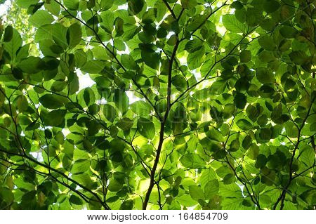 Green Beech Tree Leaves